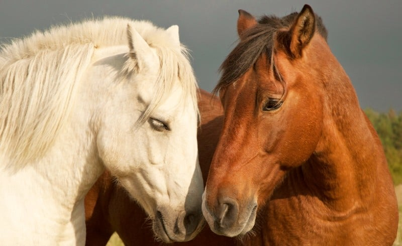image of two affectionate horses playing